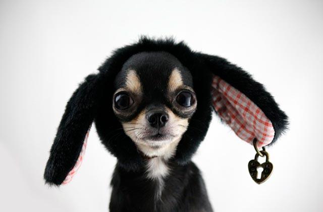 Чихуахуа характер собаки