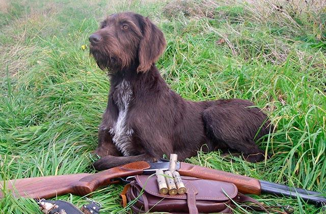 Охотничья собака фото