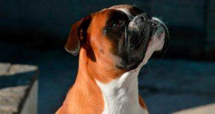 Собака боксёр