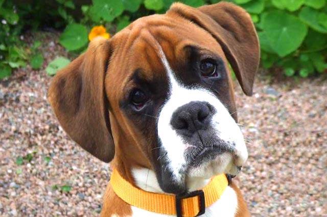 Немецкий боксер собака