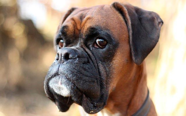 Собака боксер фото