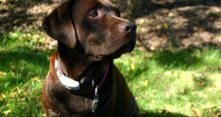 Лабрадор-ретривер коричневый