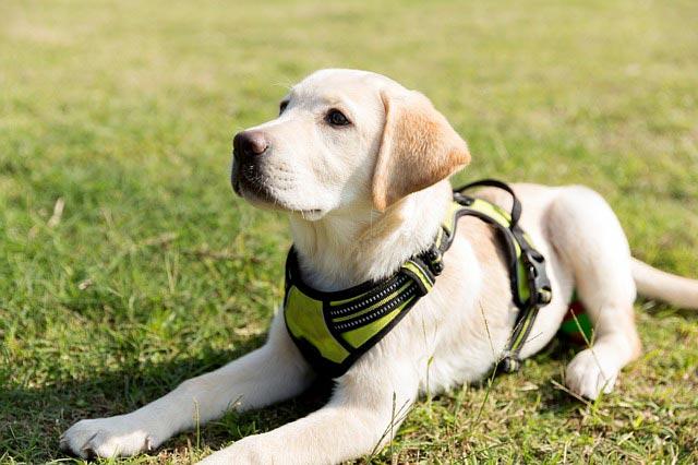 Лабрадор-ретривер щенок на траве