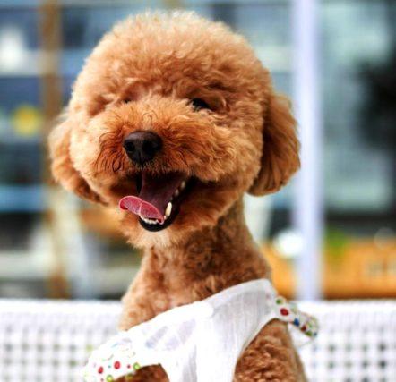 Карликовй пудель – декоративная собака