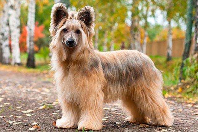 китайская пуховая собака