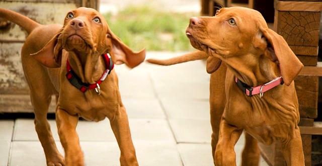 Выжла порода собак