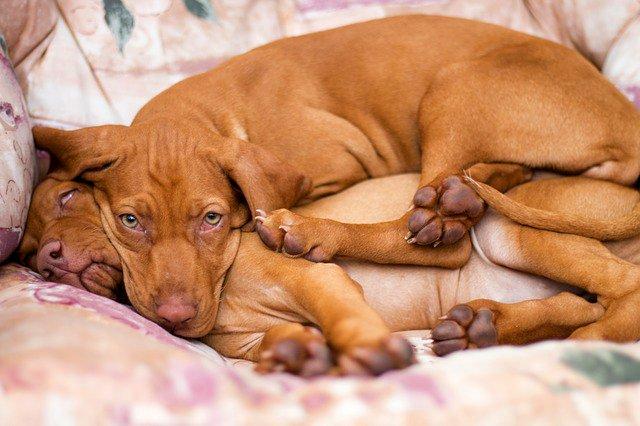 Венгерская выжла лежанка собак