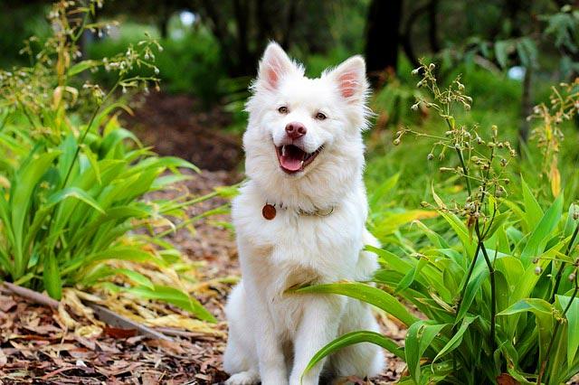 Самоедская собака (лайка, самоедский шпиц)