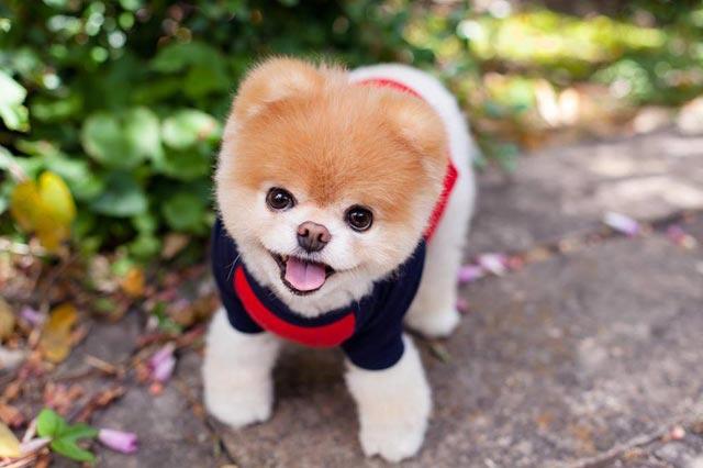 Какой породы собака Boo