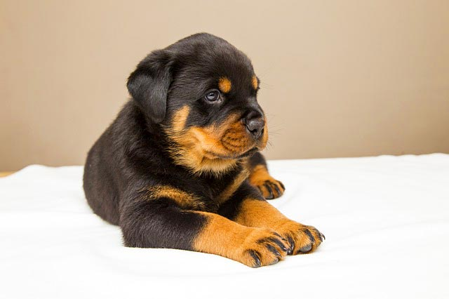 Ротвейлер щенок