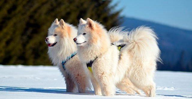 Самоедская лайка: описание, особенности и выбор щенка