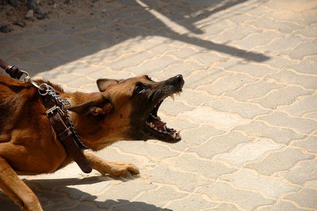 Агрессивная собака на поводке