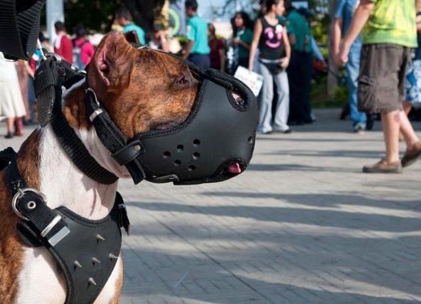 Приучить собаку к наморднику