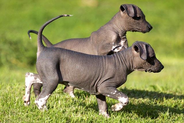 Мексиканская голая собака или ксоло