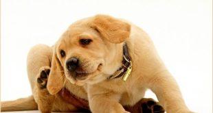 Перхоть у собаки, причины, лечение