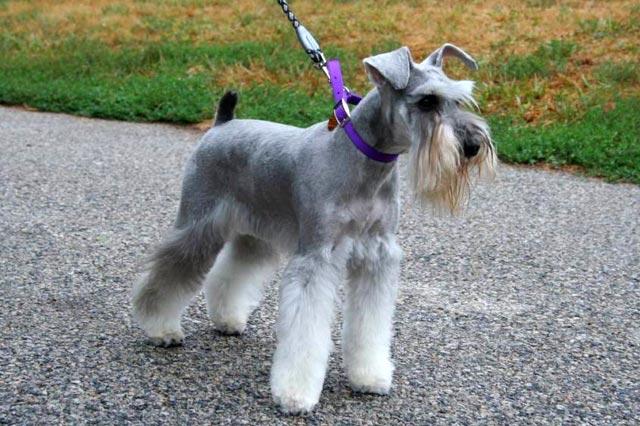 Шнауцер собака