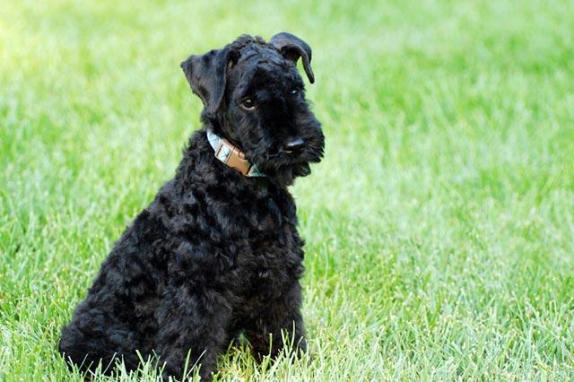 Собака керри-блю-терьер