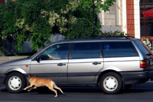Собака гоняется за машинами