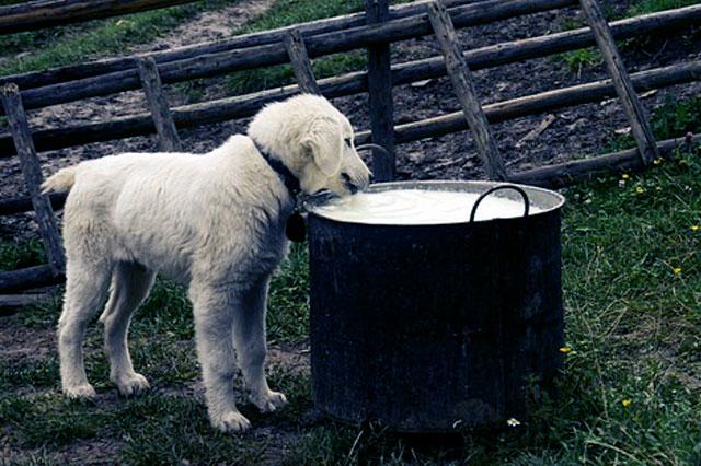 Щенок и молоко