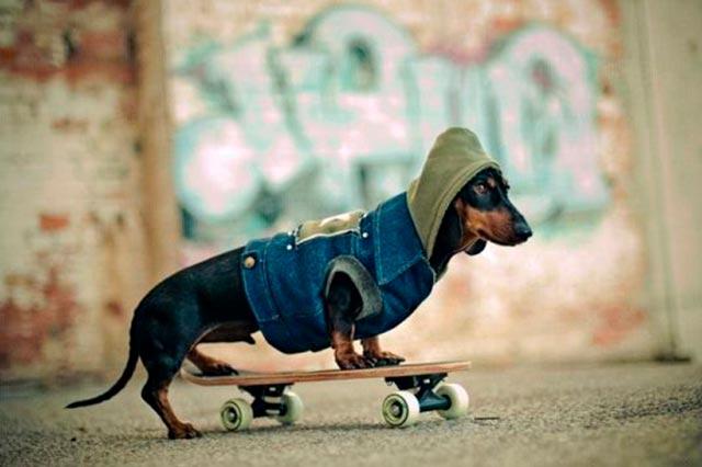 Такса на скейтборде