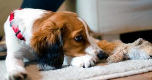 Гнойные выделения из глаз у собак