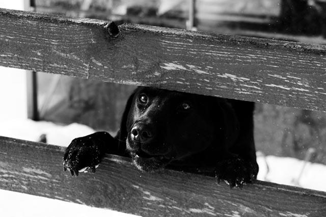 Собака лает через забор