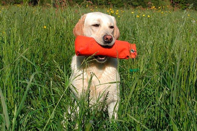Как научить собаку команде «Апорт!»