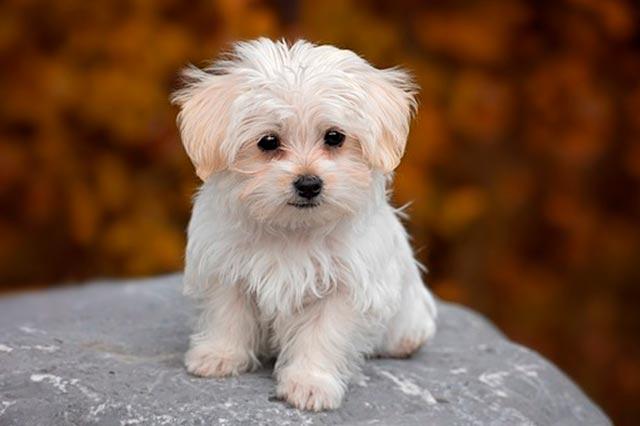 Слезные дорожки у собаки