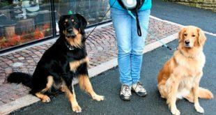 Взрослые собаки в ошейнике на поводке