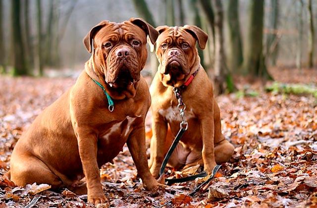 Как правильно выбрать ошейник и поводок для крупных собак