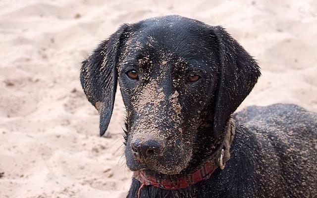 Собака в песке