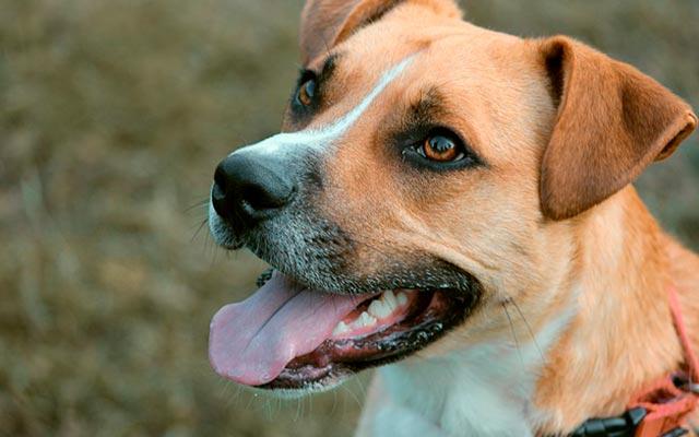 Собака гибрид – смесь дворовой и продистой собаки. Фото