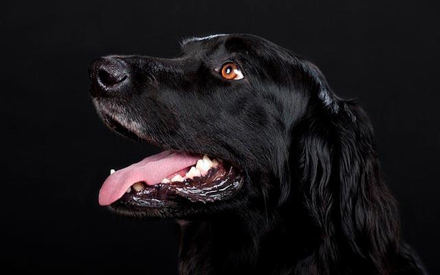 Породная собака