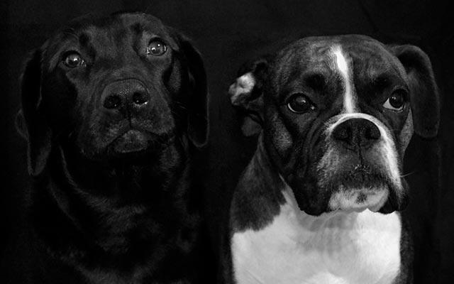 Чистокровные псы фото