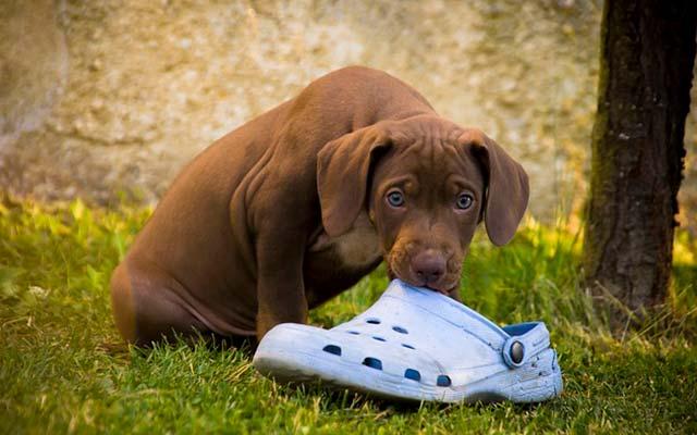 Собака грызёт тапочки