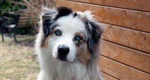 Австралийская овчарка, краткое название: Аусси