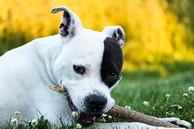 Американский стаффордширский терьер: все о собаке, характеристика и описание породы, фото