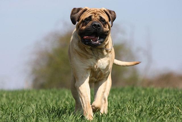 Самые сильные собаки