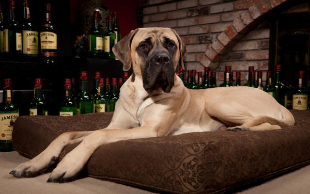 Рейтинг самых больших собак