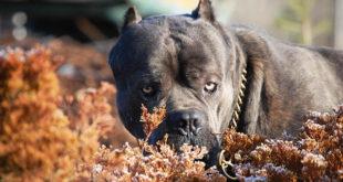 Фото самой сильной собаки