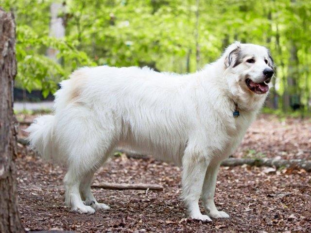 Большая пиренейская собака