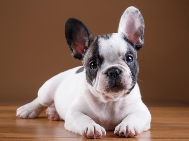 Французский бульдог - щенок