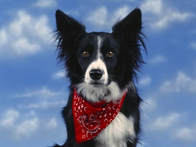 Самые умные собаки