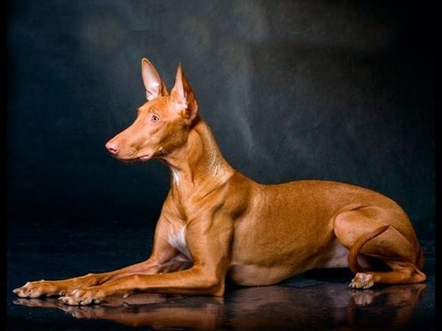 Изображение - Фараонова собака