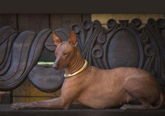 Изображение - Перуанская голая собака