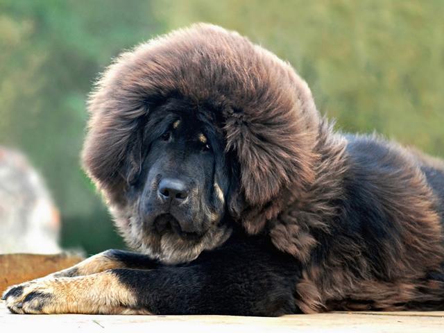 изображение - Самые дорогие собаки в мире
