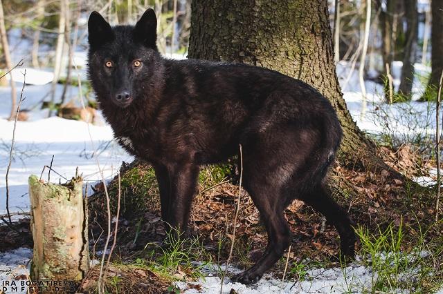 Прогулка с волкособом 1