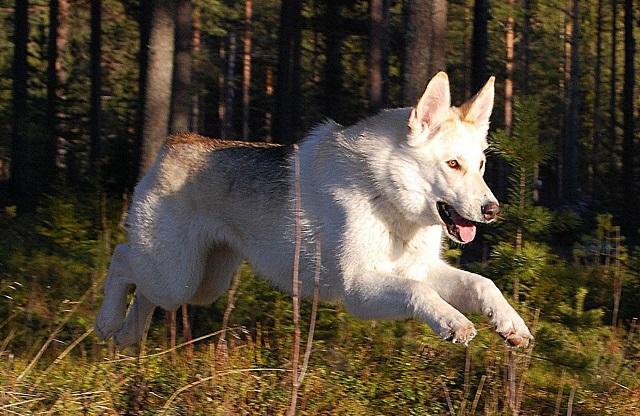 Прогулка с волкособом 2
