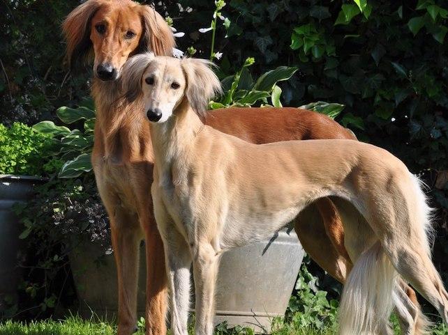 Самые красивые собаки - Салюки