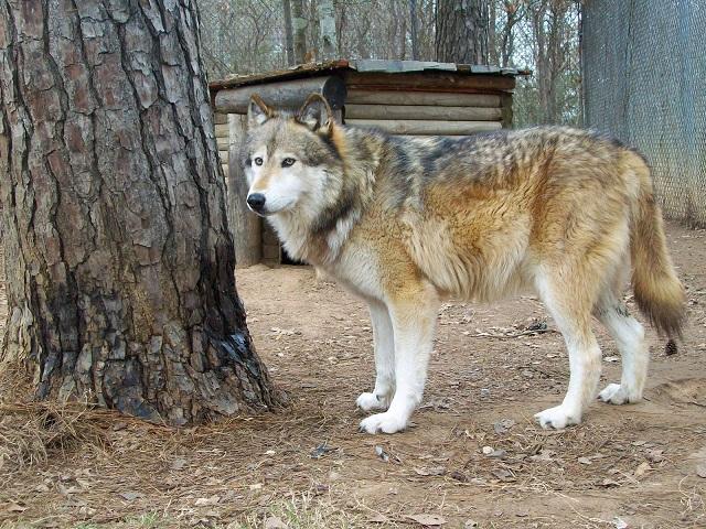Содержание и ухжод за волкособом1